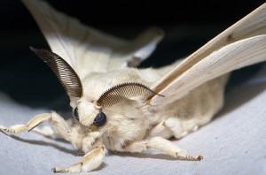 Bombyx mori Moth a.k.a.the domesticated silk moth. Compliments of xsilk.com